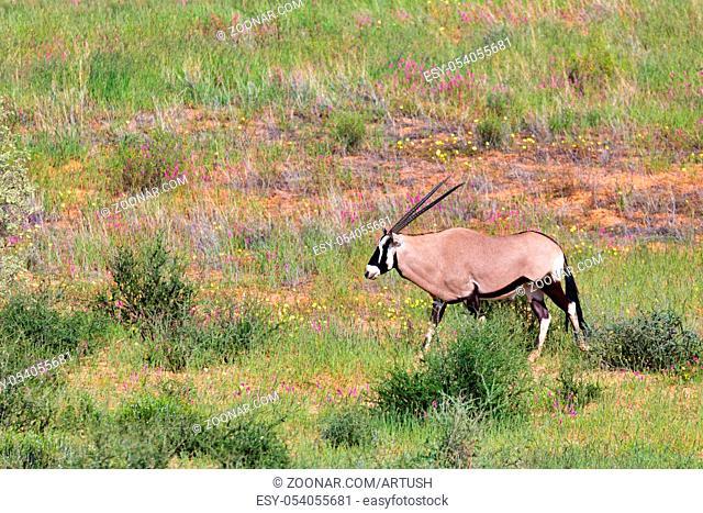 Gemsbok, Oryx gazella in Kalahari, green desert after rain season. Kgalagadi Transfrontier Park, South Africa wildlife safari