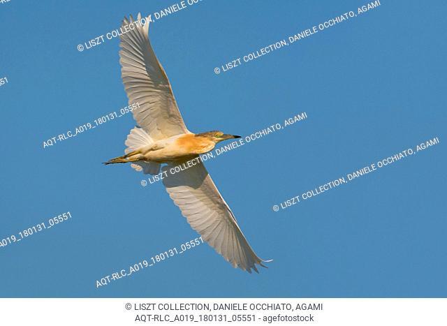 Squacco Heron flying, Squacco Heron, Ardeola ralloides