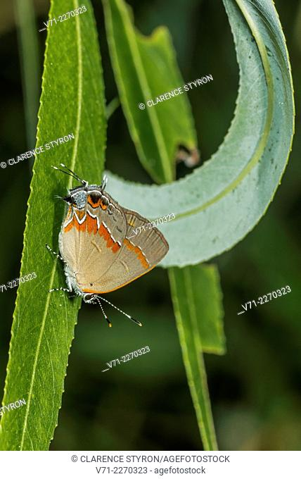 Red-banded Hairstreak Butterfly (Calycopis cecrops) on Willow (Salix nigra) Leaf