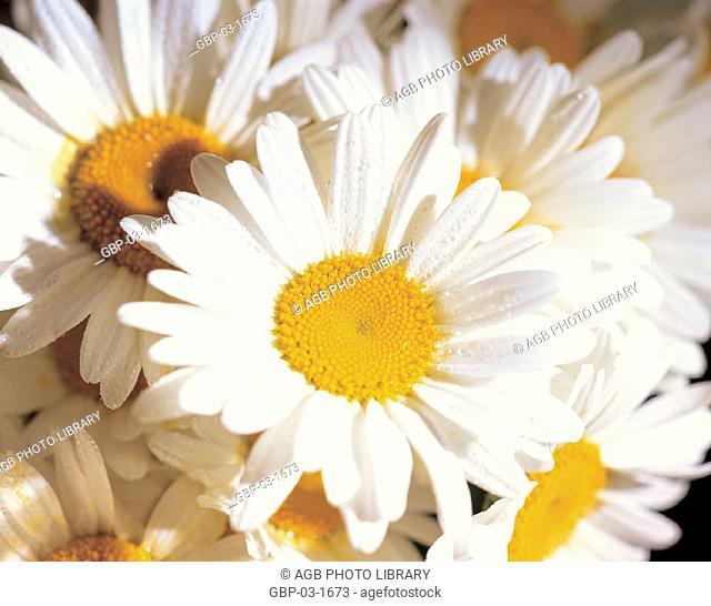 Photo illustrated vegetation, plant, flower, petals, pollen, kind, daisy, nature