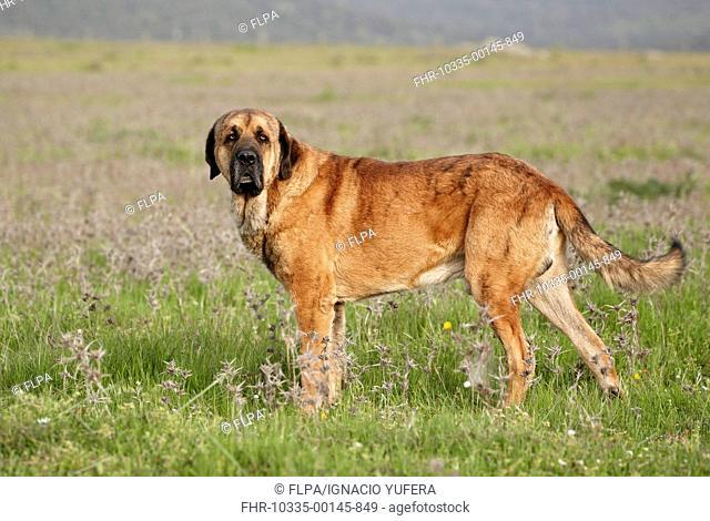 Domestic Dog, Spanish Mastiff, adult male, standing in grassland, Extremadura, Spain, april