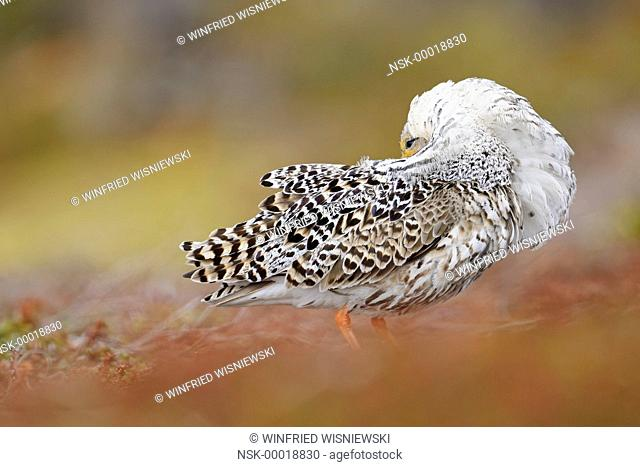 Ruff (Philomachus pugnax) male in breeding plumage at the lek, Norway, Varanger Peninsula