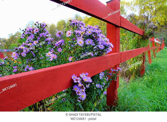 Purple flowers by the fence