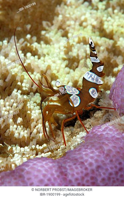Square Shrimp (Thor amboinensis), on Adhesive Anemone (Cryptodendrum adhaesivum), Makadi Bay, Hurghada, Egypt, Red Sea, Africa