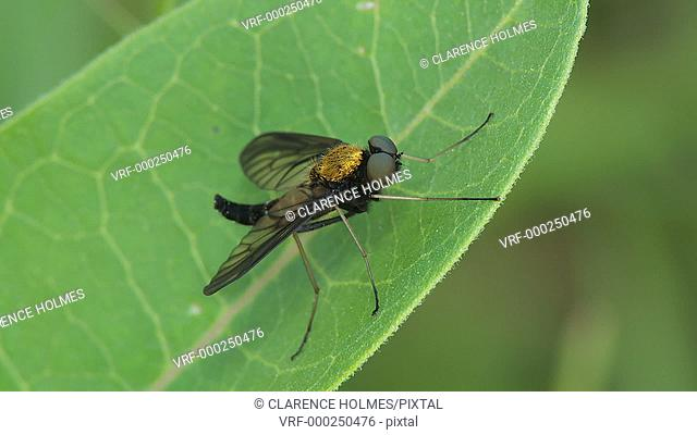 A Golden-backed Snipe Fly (Chrysopilus thoracicus) perches on leaf in a gentle breeze