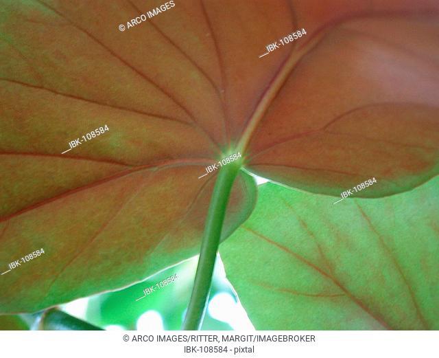 Begonia leaves from below / (Begonia spec.)