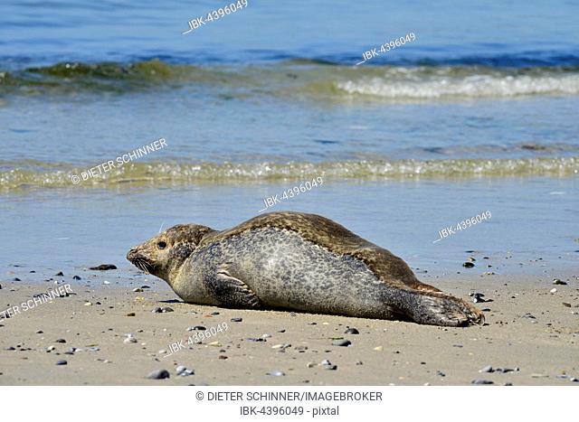 Female grey seal (Halichoerus grypus) resting on beach, Helgoland Dune, North Sea, Schleswig-Holstein, Germany