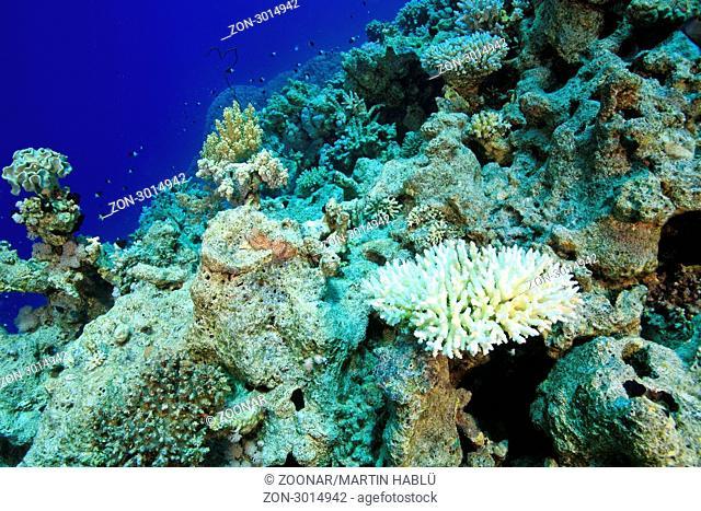 Gebleichte Koralle im Roten Meer, Sharm el Sheikh, Ägypten, Rotes Meer, Bleached Coral, Sharm el Sheikh, Aegypt, Red Sea