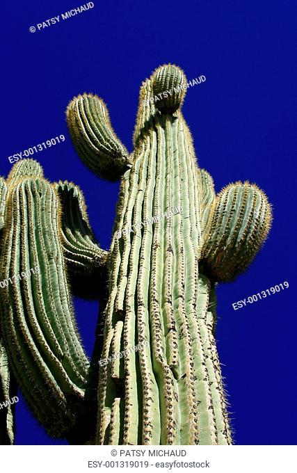 Ancient Saguaro Carnegiea gigantea