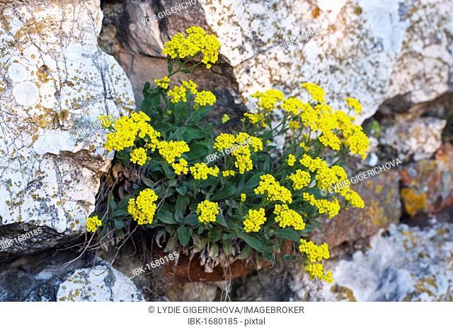 Basket of Gold, Yellow alyssum flowers, Basket-Of-Gold, Candy Mustard, Gold Alyssum, Gold Dust, Gold-Dust, Golden-Tuft Alyssum, Golden-Tuft Madwort