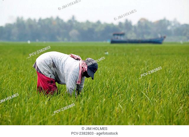Farmer working in rice fields where a stranded fishing boat lies stuck in the middle of the fields, close to Lamno, after the Indian Ocean tsunami of 2004; Aceh...