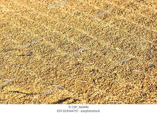 drying harvested rice in a flat field