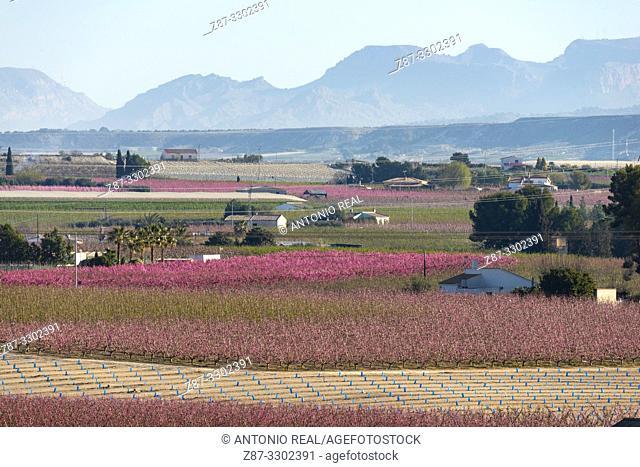 Flowering. Peach trees in bloom. Cieza. Murcia. Spain