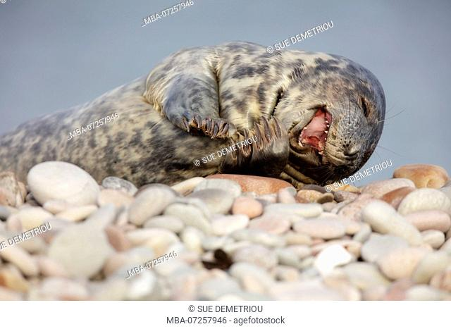 Laughing seal on pebbled beach, young seal cute
