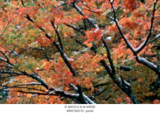 Maple, foliage, in, autumn, Maine, USA