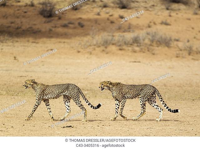 Cheetah (Acinonyx jubatus). Two subadult males. Roaming in the dry and barren Auob riverbed during a severe drouight. Kalahari Desert