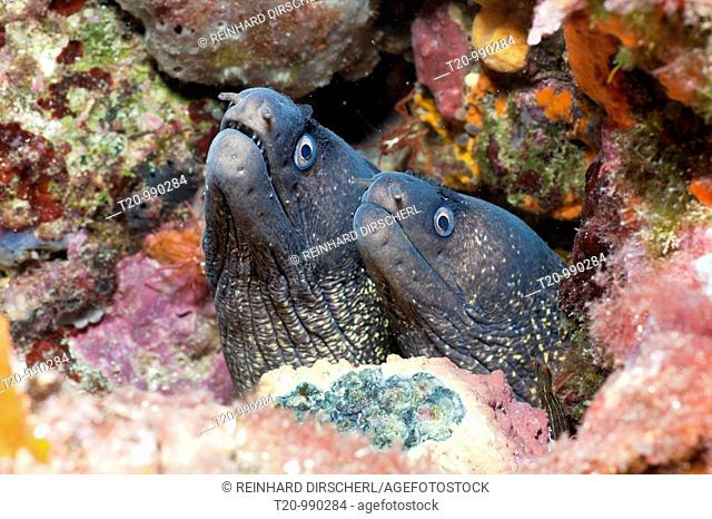 Couple of Mediterranean Moray, Muraena helena, Tamariu, Costa Brava, Mediterranean Sea, Spain