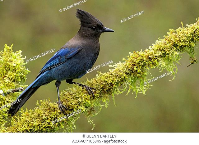 A Steller's Jay (Cyanocitta stelleri) perches on a mossy branch in Victoria, British Columbia, Canada