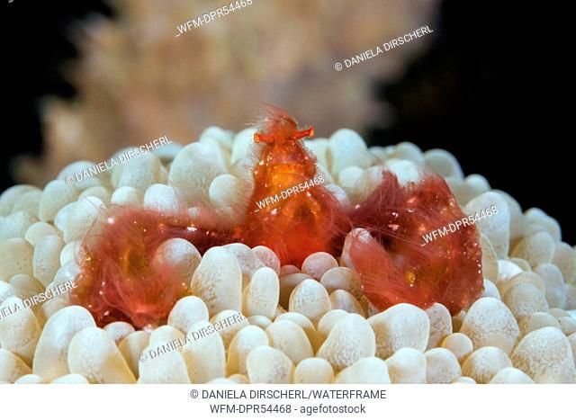 Orangutan Crab in Bubble Coral, Achaeus japonicus, Ambon, Moluccas, Indonesia