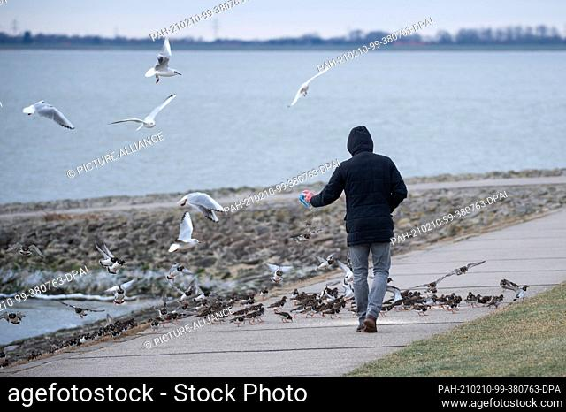 10 February 2021, Lower Saxony, Wilhelmshaven: Laughing gulls (Chroicocephalus ridibundus) and turnstones (Arenaria interpres) flutter and run at a man pouring...