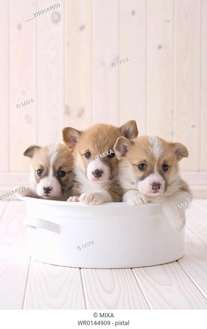 Three pembroke welsh corgi in a container