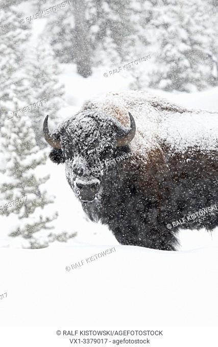 American bison / Amerikanischer Bison ( Bison bison ) in winter, old bull covered with snow during heavy snowfall, Yellowstone, Wyoming, USA.