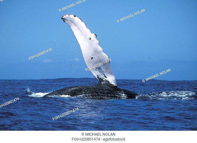 Humpback Whale Megaptera novaeangliae Adult pec-slapping in the, AuAu Channel, Maui, Hawaii, USA. Pacific Ocean