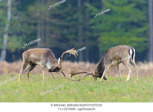 Fighting Fallow Deers (Cervus dama) at Rutting Season, Hesse, Germany, Europe
