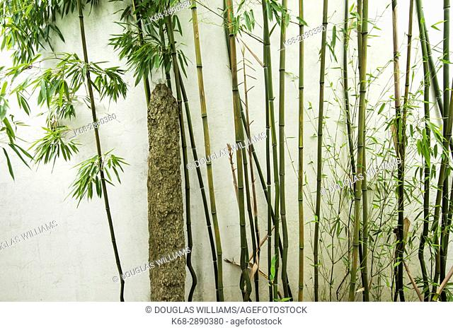 Bamboo by a wall at Dr Sun Yat-Sen Classical Chinese Garden, in Chinatown, Vancouver, BC, Canada