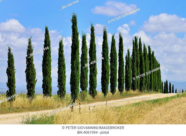 Dirt track with a cypress avenue, near Murlo, Province of Siena, Tuscany, Italy