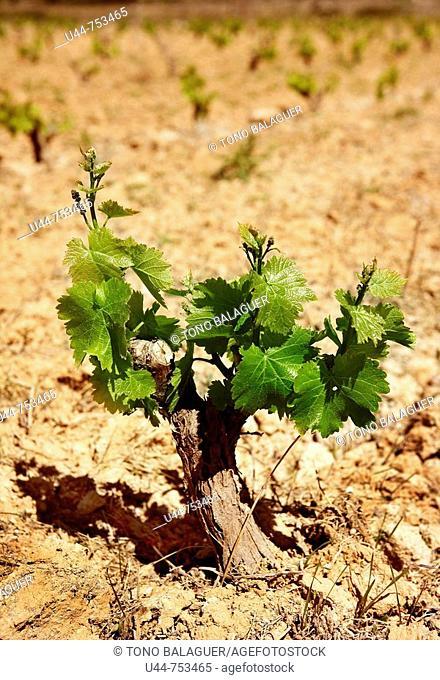 Grape wine cultivation