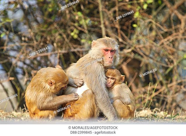 Asia, India, Rajasthan, Bharatpur, Keoladeo national park, Rhesus macaque (Macaca mulatta), grooming