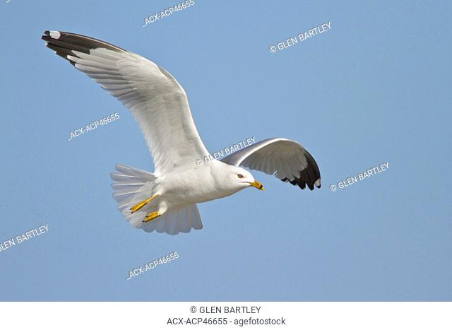 Ring-billed Gull Larus delawarensis flying