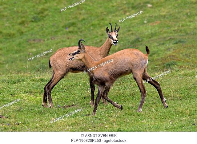Two chamois (Rupicapra rupicapra) males calling in summer on mountain meadow / Alpine pasture in the European Alps