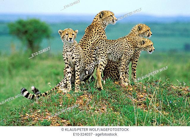 Cheetah with cubs (Acinonyx jubatus). Masai Mara. Kenya