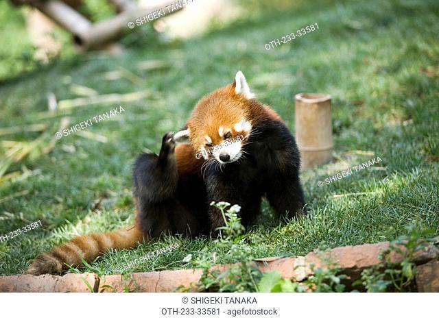 Lesser panda, Chengdu Panda breeding and research center, Sichuan, China