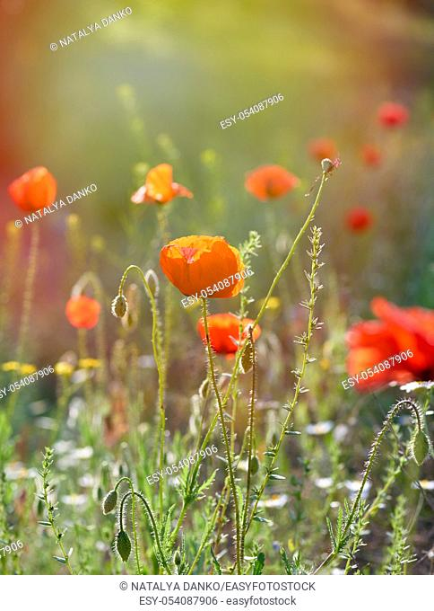 blooming red poppies in a field in the sunset, summer evening, close up