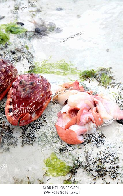 Bullmouth helmet (Cypraecassis rufa) sea snail and shell, Jambiani, Zanzibar, Tanzania