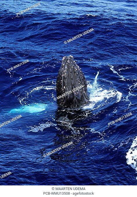 Whale spyhopping and showing fins