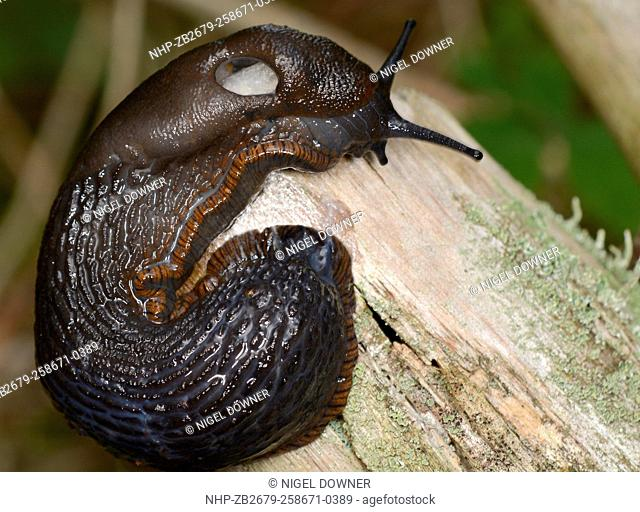 Close-up of a black form of an adult Large Red slug (Arion ater) curled around a tree branch in a Norfolk woodland habitat in summer