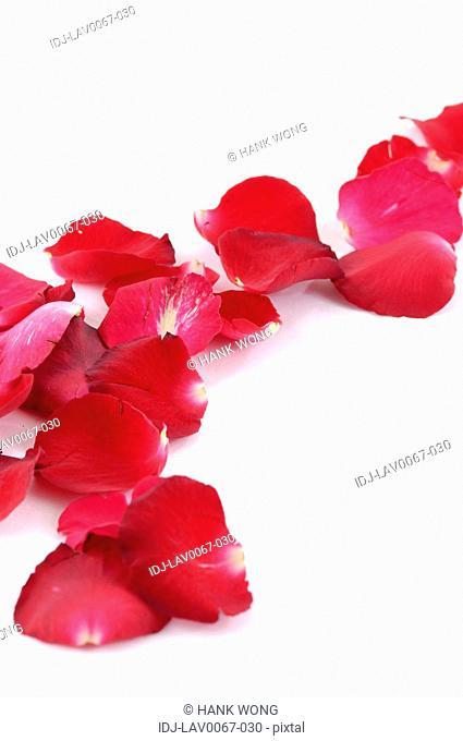 Rose petals against white background