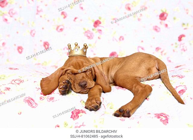 Vizsla. Puppy (6 weeks old) sleepig on a blue blanket with rose flower print, wearing a crown on its head. Germany
