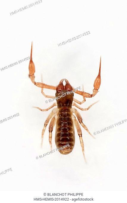 France, Paris, Arachnida, Pseudoscorpionida, Chthoniidae, Pseudoscorpion, Common Chthonid (Chthonius ischnocheles), male