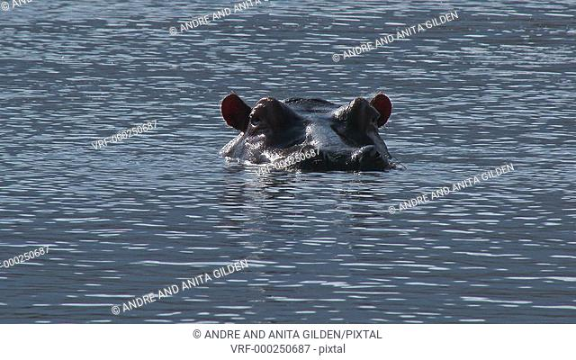 Hippopotamus (Hippopotamus amphibius) with head just above water looking at camera, and blowing nose