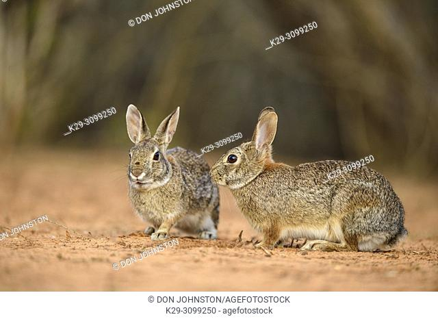 Desert cottontail (Sylvilagus audubonii) Interacting pair, Santa Clara Ranch, Starr County, Texas, USA