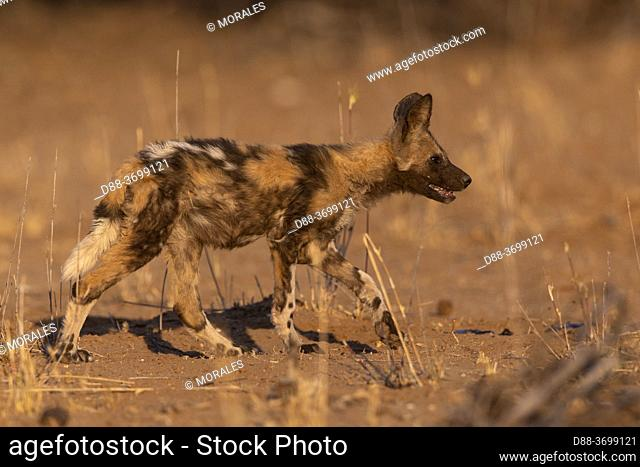 Africa, Namibia, Private reserve, African wild dog or African hunting dog or African painted dog (Lycaon pictus), group of youngs, captive