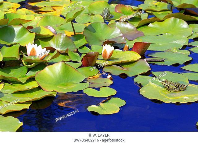 European edible frog, common edible frog (Rana kl. esculenta, Rana esculenta, Pelophylax esculentus), European edible frogs on water-lily leaves, Germany