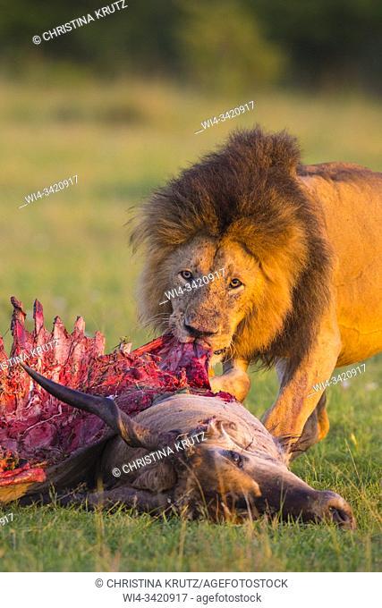 African lion (Panthera leo), male with eland kill, Masai Mara National Reserve, Kenya, Africa