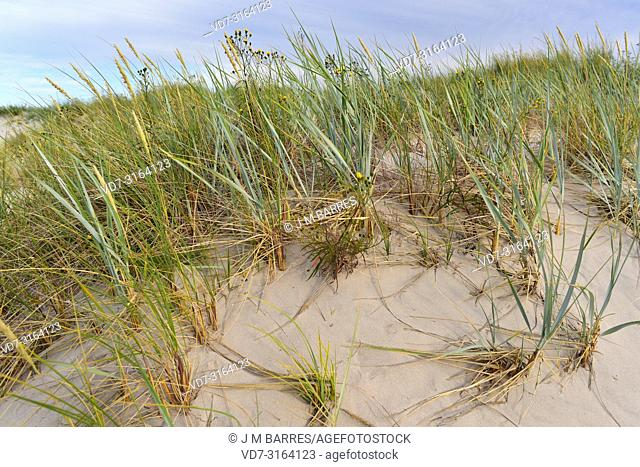 Blue lyme grass or sea lyme grass (Leymus arenarius or Elymus arenarius) is a perennial herb native to west north Europe. Back Hieracium umbellatum