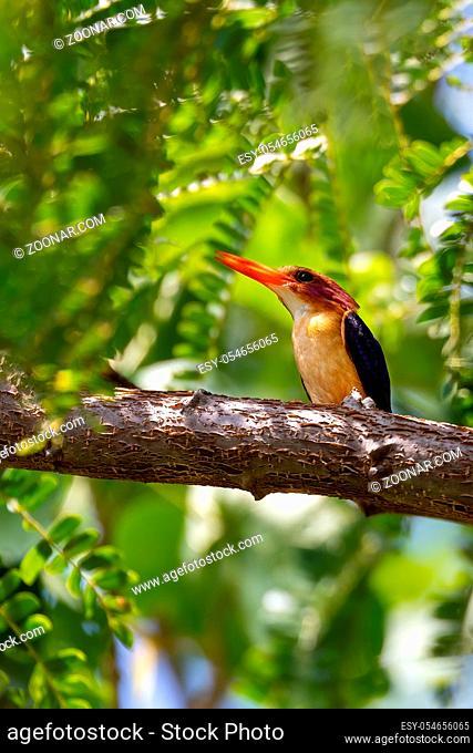 small bird African pygmy kingfisher (Ispidina picta) is a small insectivorous kingfisher, Wondo Genet, Ethiopia Africa safari wildlife
